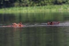 COPPIA DI IPPOPOTAMI    ----    PAIR OF HIPPOS (Ezio Donati is ) Tags: animali animals natura nature acqua water foresta forest pericolo danger bandamariver westafrica costadavorio raimboitenarea