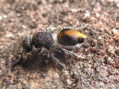 Orange Stunner (tessab101) Tags: ant insect bug blue mountains nsw australia arthropods velvet flightless female flower wasp