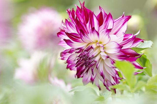 Обои макро, георгина, боке картинки на рабочий стол, раздел цветы - скачать