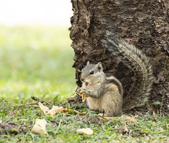 Hungry squirrel (Arvind Nandan) Tags: animals closeup garden mammal rodent chomping meal food eating squirrels squirrel