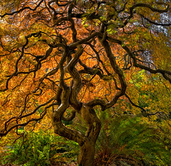 Gnarly Maple (Phil's Pixels) Tags: japanesemaple backlightjapanesemaple autumn fall fallfoliage tree gnarlytree twistedbranches hatleycastlegrounds victoria britishcolumbia canada