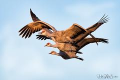 _HB52392 (Hilary Bralove) Tags: nikon sandhillcranes sandhillcrane bosquedelapachenationalwildliferefuge bosquedelapache wildlife mexico birds wildbirds birdsinflight wings birder refuge wildliferefuge
