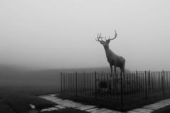 Deer In The Fog (Northern Wolf Photography) Tags: 14mm deer em5 fence fog grey monochrome mountains olympus statue northadams massachusetts unitedstatesofamerica us