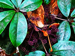 In the Bushes (Steve Taylor (Photography)) Tags: digitalart brown green black mauve newzealand nz southisland canterbury christchurch plant bush leaves seed mottled