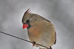 Hello Mrs C (karma (Karen)) Tags: baltimore maryland home backyard birds cardinal dof bokeh hbw hww topf25