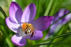 Honey Bee Butt! (suekelly52) Tags: honeybee bee insect crocus flower macro