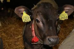 Olympic Dorcy Melody ,    Cold nights, coat on ! (excellentzebu1050) Tags: livestock dairycows closeup calf dairyfarm indoors animal animalportraits farm coth5 sunrays5