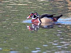 Pato joyuyo. (Aix sponsa)  (24) (eb3alfmiguel) Tags: aves exóticas agua acuaticas pato joyuyo aix sponsa ave anátida pájaro mar