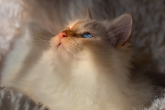 The miracle of a sunbeam (FocusPocus Photography) Tags: tofu dragon katze kater cat tier animal haustier pet profil profile