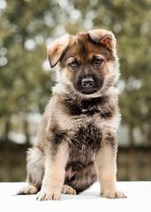 2019-03-02, Mel x Dezi Teal Male-5 (Falon167) Tags: gsd germanshepherddog german shepherd dog puppy mel dezi melxdezi litter bessie puppies