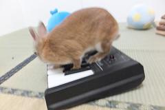 Ichigo san 1511 (Errai 21) Tags: いちごさんとキーボード ichigo sanrabbit bunny cute netherlanddwarf brown ネザーランドドワーフ ペット うさぎ 小動物 ウサギichigo san 1511