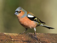 Chaffinch (m) (doranstacey) Tags: nature wildlife birds chaffinch male ulley countrypark tamron 150600mm nikon d5300