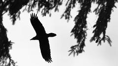 Im Tann (IIIfbIII) Tags: crow corvus tanne wald wood bird animal animalphotography birdphotography black blackandwhite bw nature naturephotography naturfotografie natur neubrandenburg tollensesee mv mecklenburgvorpommern canon wildlife wildlifephotography white winter wild