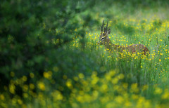 Roe buck in field of buttercups (Alan MacKenzie) Tags: roedeer deer buck wildlife nature animal summer meadow buttercups telephoto canon