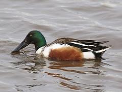 F_032019f (Eric C. Reuter) Tags: birds birding nature wildlife nj forsythe refuge nwr oceanville brigantine march 2019 032019