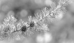 Cônes des Hautes-Alpes (N/B) (Frédéric Fossard) Tags: monochrome noiretblanc blackandwhite texture branche arbre tree pommedepin pine pin cône fircone pinecone cone conifère nature macro flou bokeh profondeurdechamp végétal botanique aiguillesdepin botanic