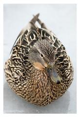 Canard Colvert (Nolwenn Trvdc) Tags: wild nature bird lac snow duck canada montréal anas platyrhynchos