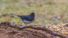 _DSC0438 (johnjmurphyiii) Tags: 06416 birds connecticut cromwell originalnef shelly tamron18400 usa wildlife winter yard johnjmurphyiii