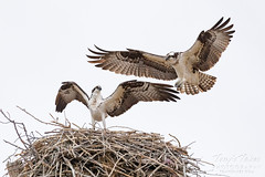 March 23, 2019 - The osprey return to the Front Range. (Tony's Takes)