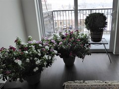 Wheaton, IL, Bringing in My Balcony Plants to Avoid the First Hard Frost (Mary Warren 12.8+ Million Views) Tags: wheatonil planter nature flora plants blooms blossoms flowers vinca white pink red