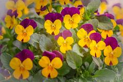 86/365 viooltjes (Eljee-) Tags: bloemen 365the2019edition 3652019 day86365 27mar19 sony a7ii viooltjes