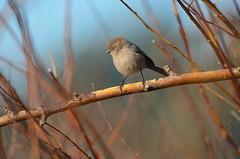 Female Bush Tit (Neal D) Tags: bc abbotsford milllake bird bushtit psaltriparusminimus