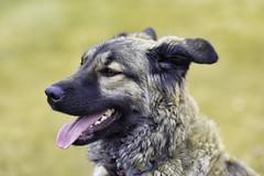 Ally (Troy Bourque) Tags: shepard okotoks dog alberta northamerica canada westerncanada canadianprairies prairieprovinces