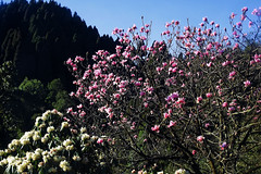 It's Spring ! (Lopamudra !) Tags: lopamudra lopamudrabarman lopa landscape flora flower flowers pink white colour color colours colourful cold spring season darjeeling himalaya himalayas india lepchajagat tree rhododendron magnolia beauty beautiful westbengal