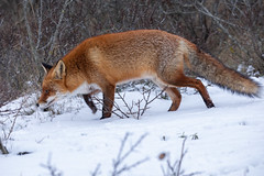 (Explore) Red fox on the prowl (Vulpes vulpes) Vos (Ron Winkler nature) Tags: fox vulpesvulpes vulpes vos canid canidae predator carnivore mammal mammalia nature wildlife netherlands nederland europe canon 5div 100400ii