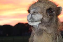 Sweet  Josephine (excellentzebu1050) Tags: camel camelus camelusbactrianus farm sunset animal animalportraits livestock closeup coth5 sunrays5