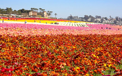 The Flower Fields 3.30.19 18 (Marcie Gonzalez) Tags: the flower fields carlsbad southern california ca flowers attraction attractions destination destinations plant plants petal petals bloom blooming blooms many botanical botanicals light day morning lighting sun sunny daylight natural nature theflowerfieldscarlsbad san diego field rainbow rows color colors bright ranunculus county north america usa socal so cal marcie gonzalez marciegonzalez marciegonzalezphotography photography canon theflowerfields flowerfields blanket cover covered horizon thousands spread 2019