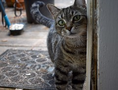 outdoor dining (rootcrop54) Tags: camille female mackerel tabby striped cat open door feeding neko macska kedi 猫 kočka kissa γάτα köttur kucing gatto 고양이 kaķis katė katt katze katzen kot кошка mačka gatos maček kitteh chat ネコ cc100 cc200