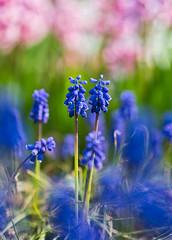 Traubenhyazinthen (lebastian) Tags: panasonic dmcgx8 olympus m45mm f18 traubenhyazinthen plants pflanze makro macro color farben