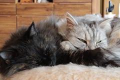 Kuschelstunde #12 (Vasquezz) Tags: katze cat haustier pet sibirischekatze sibirisch sibirische siberiancat siberian fussel zarah сибирскаякошка сибирская кошка waldkatze forestcat siberianforestcat