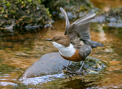 JWL9374  Dipper.. (Jeff Lack Wildlife&Nature) Tags: dipper dippers birds avian animal animals wildlife wildbirds wetlands waterbirds waterways wildlifephotography jefflackphotography riverbirds rivers riverbanks ouzel ouzels streams countryside nature