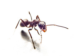 Close-up of an ant on white background (Ivan Radic) Tags: ameise closeup insekt makro nahaufnahme ant extremevergröserung extrememagnification insect macro weiserhintergrund whitebackground olympusomdem10 olympus45mmf18 olympusmzuikodigitaled45mmf18 magnification vergröserung omd olympus mft microft micro43 mirrorless spiegellos ilc evil csc systemkamera systemcamera format primelens festbrennweite fixbrennweite fixfocallens portraitobjektiv portraitlens telephoto telefoto ivanradic