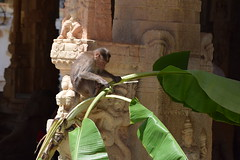 The monkey and the banana leaves (Sriini) Tags: monkey primate banana plantain leaves stem temple wall ancient hindu architecture candid