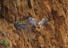 Male red tail brings home food (charlescpan) Tags: