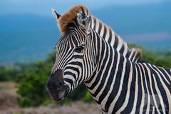 Zebra Portrait (fascinationwildlife) Tags: animal mammal wild wildlife nature natur national park addo burchells zebra portrait south africa afrika südafrika eastern cape elephant tiere