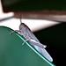 Locusta migratoria - criquet migrateur - locust