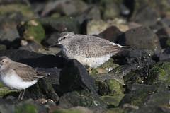 Knot (Dougie Edmond) Tags: southayrshire scotland unitedkingdom gb bird wader nature wildlife water beach