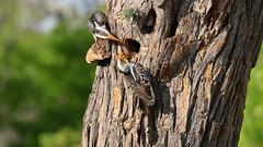 Southern Yellow-billed Hornbills (9189) (Bob Walker (NM)) Tags: bird perching hornbill southernyellowbilledhornbill tockusleucomelas yellowbilledhornbill treebark makingnest somalisacamp hwangenationalpark zimbabwe