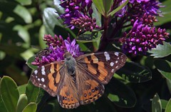 Australian Beauty! -  Australian Painted Lady male (Uhlenhorst) Tags: 2015 australia australien animals tiere plants pflanzen flowers blumen blossoms blüten travel reisen ngc
