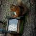 Red Squirrels at Rannoch 2017 - 2989.jpg