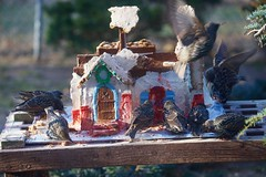 Feeding frenzy! (ineedathis, Everyday I get up, it's a great day!) Tags: europeanstarling birds avian gingerbreadhouse garden 2018gingerbreadhouse window roof royalicing christmas2018 miniature sugarwork modeling baking nikond750 weepingatlascedar bokeh tree ornamentaltree outdoor gumpaste