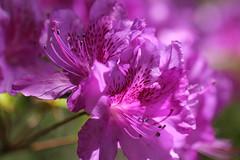 azaleas (debbfay) Tags: azaleas