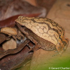 Kalophrynus interlineatus (Striped Sticky Frog) (GeeC) Tags: tatai animalia kalophrynusinterlineatus anura chordata amphibia nature kohkongprovince cambodia kalophrynus microhyloidea microhylidae frogstoads narrowmouthedfrogs stripedstickyfrog