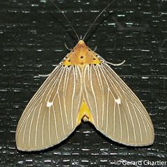Asota caricae (GeeC) Tags: noctuoidea animalia cambodia kohkongprovince nature aganainae arthropoda asotacaricae asota insecta tatai lepidoptera erebidae butterfliesmoths