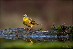 Yellowhammer - Explored #64 (Gertj123) Tags: animal avian netherlands nature bokeh water wildlife hbn3 lemelerberg