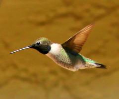 Black-chinned Hummingbird (austexican718) Tags: hummingbird texas native wildlife centraltexas hillcountry backyard bird avian fauna canon eos70d ef70300mm456isusm telephoto nature animal colibri blackchinned flight natureandnothingelse